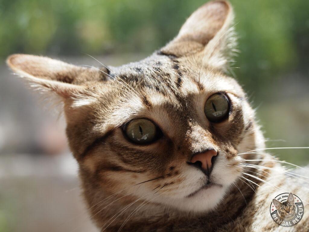 "Bengal Savannah Mix cat displaying classic ""Airplane ears"""